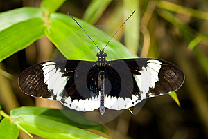 Cydno Longwing Butterfly (Heliconius Sapho) Royalty Free Stock Photos - Image: 8028998