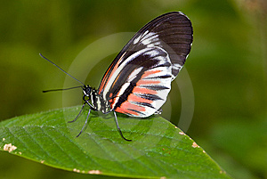 Piano Key Butterfly (Heliconius Melpomene). Royalty Free Stock Image - Image: 8029006