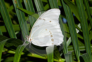White Morpho Butterfly (Morpho Polyphemus) Royalty Free Stock Photography - Image: 8029007