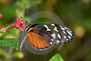 Male Common Mechanitis Butterfly Stock Photo - Image: 8029010