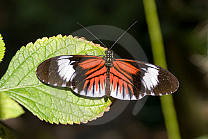 Piano Key Butterfly (Heliconius Melpomene). Royalty Free Stock Photo - Image: 8029015