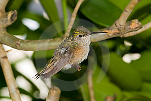 Hummingbird Stock Photo - Image: 8029020