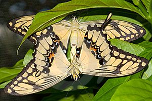 Mating Swallowtail Butterfly (Papilio Cresphonte) Stock Photography - Image: 8029022