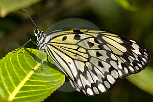 Tree Nymph Butterfly (Idea Leuconoe) Royalty Free Stock Photography - Image: 8029037