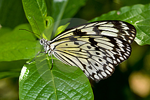 Tree Nymph Butterfly (Idea Leuconoe) Stock Photography - Image: 8029042
