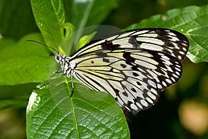 Mariposa De La Ninfa Del árbol (idea Leuconoe) Fotografía de archivo - Imagen: 8029042