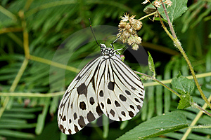 Black White Butterfly On Dry Flower Royalty Free Stock Images - Image: 8032339