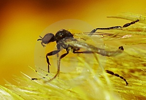 Goldfly Stock Image - Image: 8032531