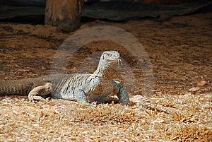 Giant Lizard Stock Photography - Image: 8033612