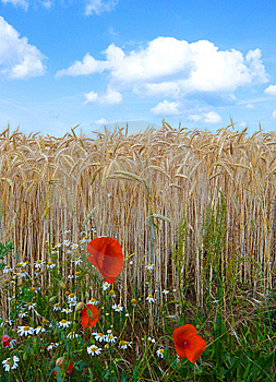 Poppies In The Field Royalty Free Stock Photos - Image: 8033918