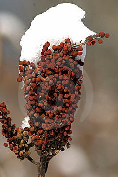 Sumac In The Snow Stock Photo - Image: 8036220