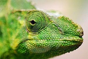Iguana Close-up Portrait Stock Photo - Image: 8040740