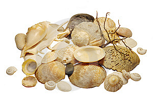 Marine Cockleshells Royalty Free Stock Photos - Image: 8047008
