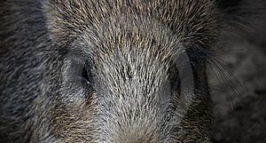 Boar's Eyes Stock Images - Image: 8049264