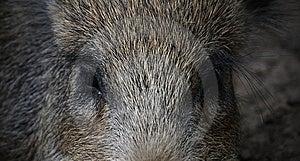 Die Augen Des Ebers Stockbilder - Bild: 8049264