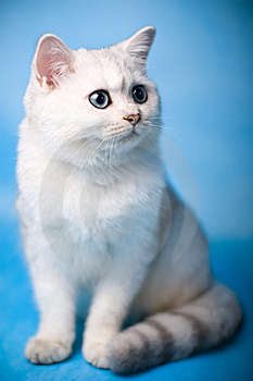 Chinchilla Kitten Royalty Free Stock Images - Image: 8056869