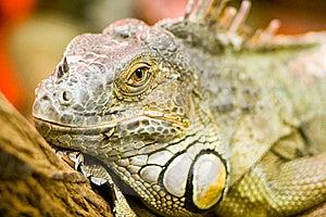 Leguan Royalty Free Stock Photos - Image: 8057308