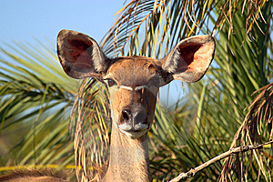 Female Kudu Stock Photos - Image: 8061613