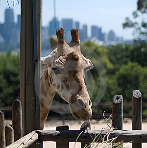 Giraffe In Taronga Zoo, Sydney Royalty Free Stock Image - Image: 8063896