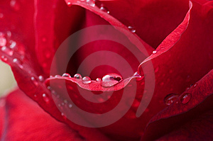 Rain Drops On Red Rose Royalty Free Stock Photo - Image: 8069385
