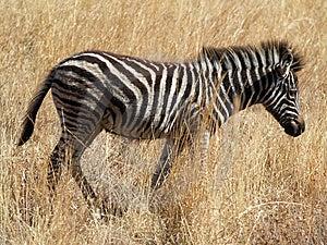 Zebra Royalty Free Stock Photo - Image: 8073265