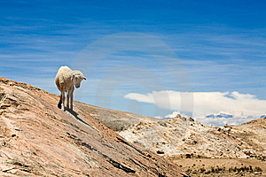 Sheep On Isla Del Sol - Titicaca Royalty Free Stock Photos - Image: 8073708
