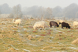 Winter Sheep Grazing Pasture With Snow Stock Images - Image: 8081844