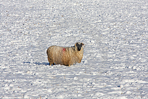 Sheep In The Snow Royalty Free Stock Photography - Image: 8084377