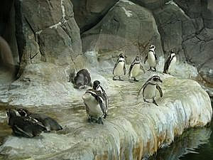 Penguins Royalty Free Stock Photo - Image: 8085485