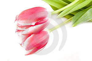 Pink Tulips Stock Images - Image: 8085554