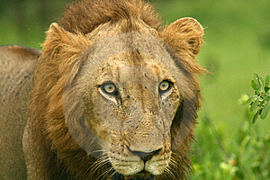 Lion Stare Royalty Free Stock Image - Image: 8090176