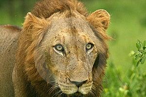 Lion Stare Image libre de droits - Image: 8090176
