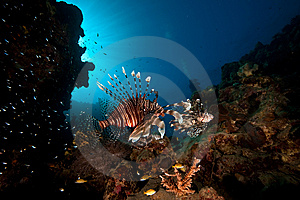 Lionfish Royalty Free Stock Photos - Image: 8091458