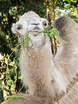 Chewing Camel Royalty Free Stock Images - Image: 8097879