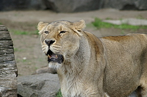 Lioness Stock Photography - Image: 811602
