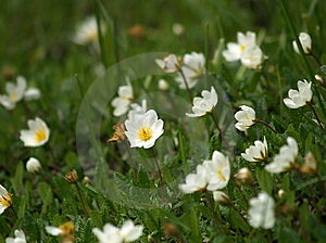 Small White Flowers Royalty Free Stock Photo - Image: 812235