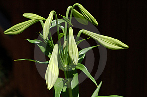 Lily S About To Bloom Free Stock Photo