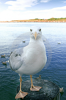 Sea Gull Looking Straight Royalty Free Stock Image - Image: 8101596