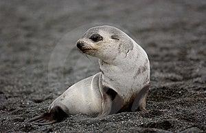 SEAL Royalty Free Stock Image - Image: 8111866