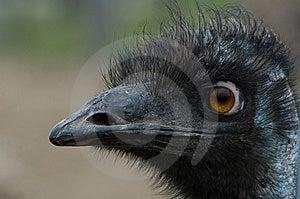 Emu Royalty Free Stock Photo - Image: 8112045