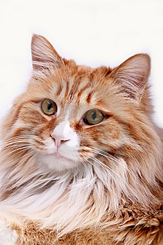 Yellow Cat. Stock Images - Image: 8113014
