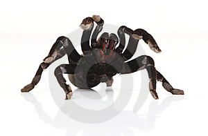 Tarantula Stock Photography - Image: 8114902