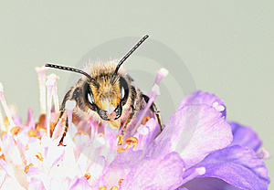 The Large Bee Royalty Free Stock Images - Image: 8115849