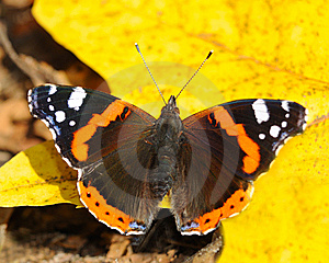 The Butterfly On A Sheet Stock Photography - Image: 8115922