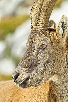 Alps Ibex Royalty Free Stock Photo - Image: 8116545