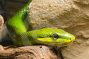 Red Tailed Racer Stock Photo - Image: 8116970