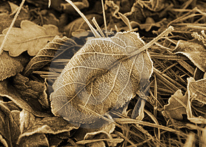 Frosted Leaf Royalty Free Stock Photo - Image: 8122395