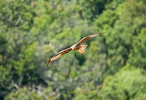 Red Kite Royalty Free Stock Photos - Image: 8127798