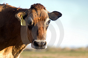 Jersey Cow Royalty Free Stock Photography - Image: 8140067