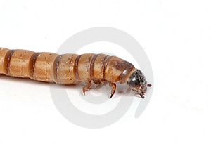 Mealworm Macro Royalty Free Stock Images - Image: 8147969